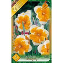 VIRÁGHAGYMA NÁRCISZ Narcisuss Orangery 5db/cs 12/14