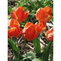 VIRÁGHAGYMA TULIPÁN Tulipa Orange Favorite10db/cs 10/11