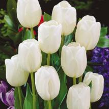 VIRÁGHAGYMA TULIPÁN Tulipa White Dream 10db/cs 11/12